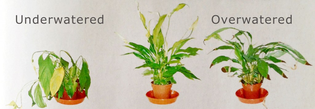 Overwatered Houseplants: Fixing the damage - Binley Florist