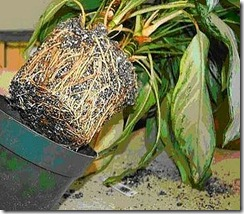 How to Repot House Plants